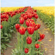 A Sensational Spring Flower Display in Seattle