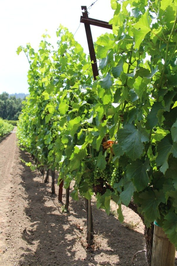 green grapes on the vine, Napa Valley