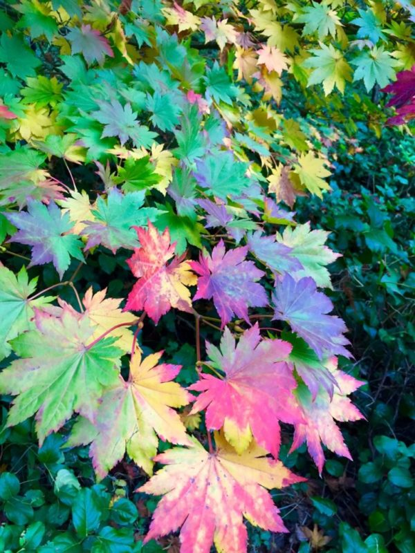 multicolor leaves of fall on one tree
