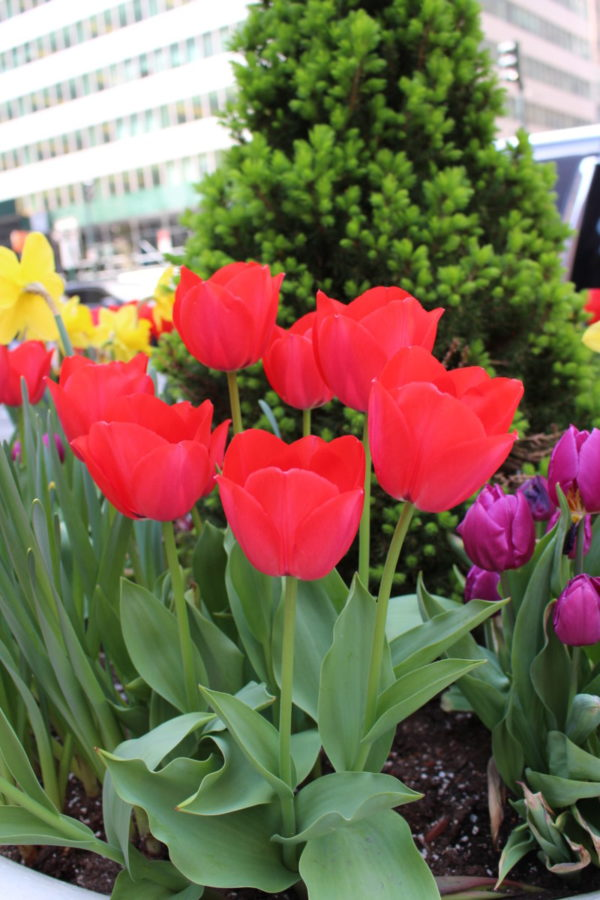 spring flowers in New York city, links to articles