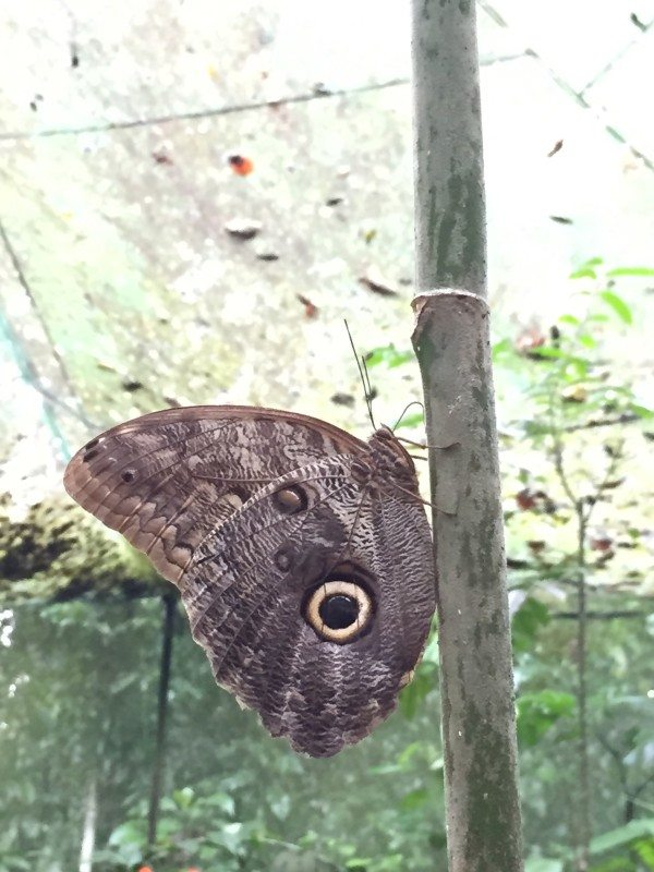 The beautiful Owl Butterfly